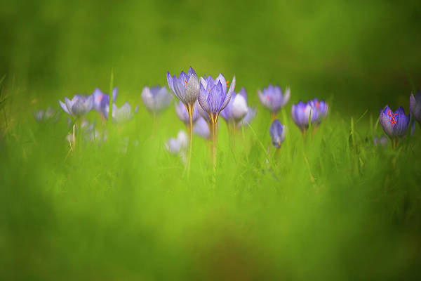 Wall Art - Photograph - Autumn Crocus Flowers by Jacky Parker Photography