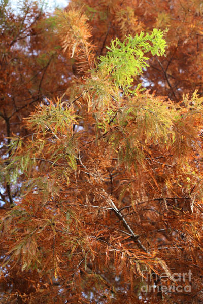 Photograph - Autumn Cypress Leaves Close Up by Carol Groenen