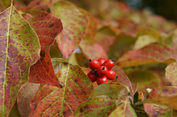 Photograph - Autumn Dogwood Berries by MM Anderson