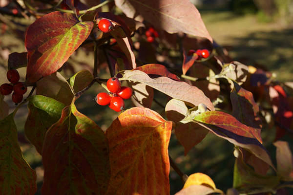 Photograph - Autumn Dogwood In The Evening Sunlight by MM Anderson