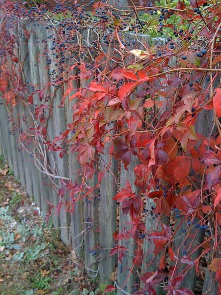 Photograph - Autumn Fence by Barbara Von Pagel