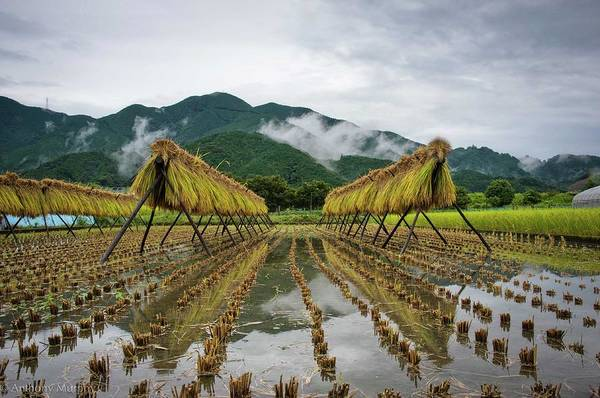 Scenery Photograph - Autumn Fields Rice Fields Drying by Anthony Murphy