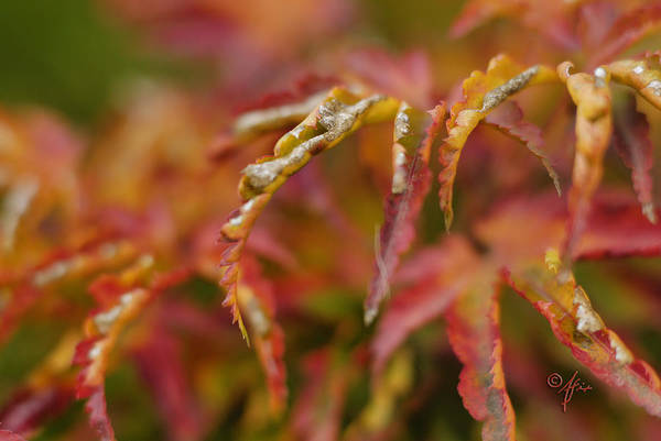 Photograph - Autumn Fingers by Arthur Fix