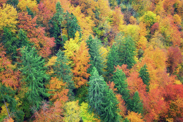 Pine Tree Photograph - Autumn Forest by Borchee