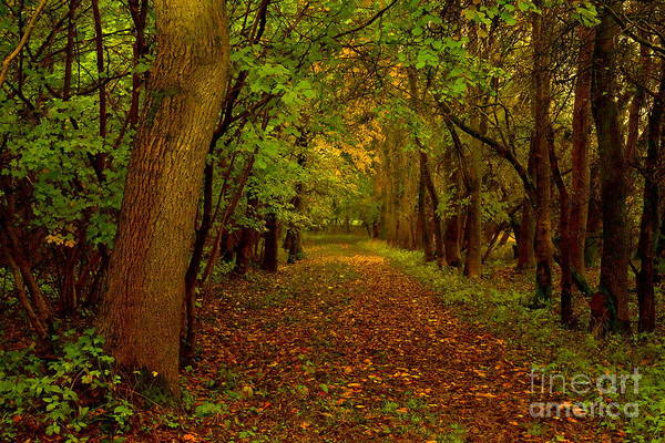 Photograph - Autumn Forest Trees by Martyn Arnold