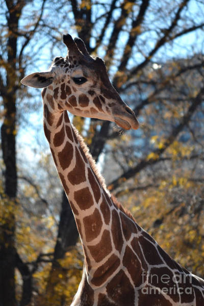 Photograph - Autumn Giraffe by Elle Arden Walby