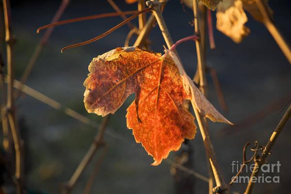 Photograph - Autumn Grape Leaf by Charmian Vistaunet