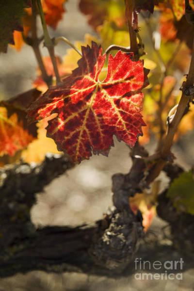 Photograph - Autumn Grape Leaves by Charmian Vistaunet