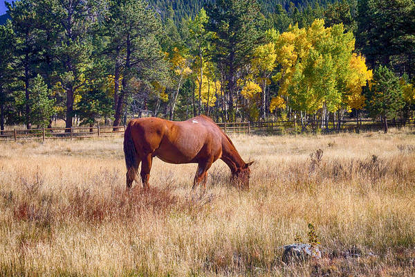 Photograph - Autumn High Country Horse Grazing  by James BO Insogna
