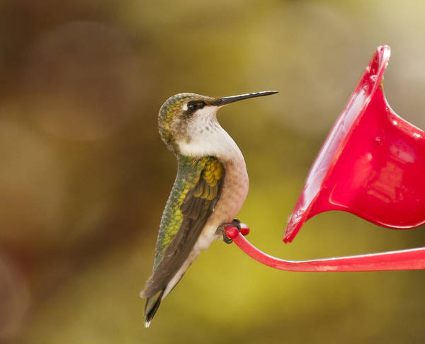 Photograph - Autumn Hummingbird by Lara Ellis