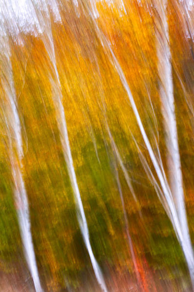 Photograph - Autumn Impressions Four Birch Trees  by Jeff Sinon