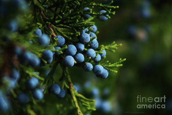Juniper Berries Wall Art - Photograph - Autumn Juniper by Lisa Porier