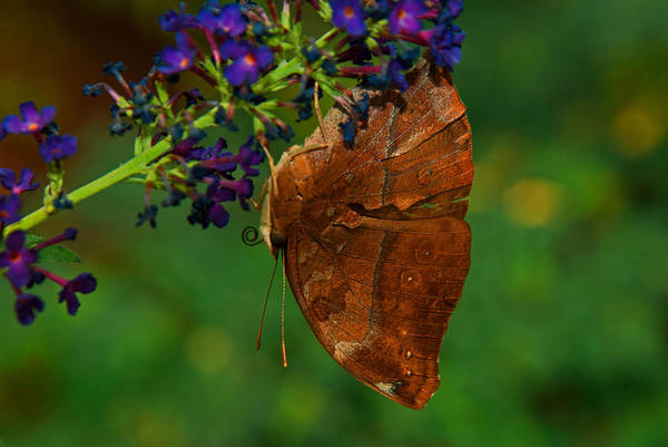 Photograph - Autumn Leaf Butterfly by Tam Ryan