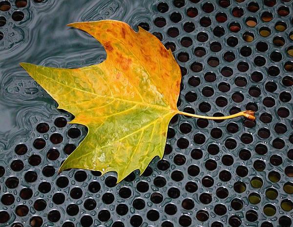 Photograph - Autumn Leaf On Drain In Bryant Park by Gary Slawsky