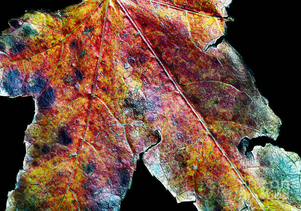 Photograph - Autumn Leaf by Russell Brown