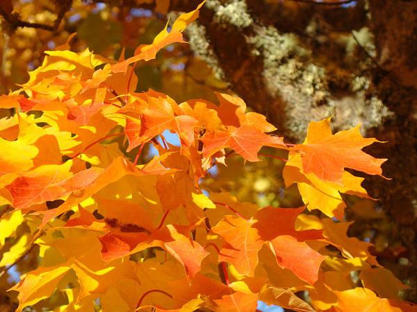 Wall Art - Photograph - Autumn Leaves Art Print Yellow Orange by Baslee Troutman