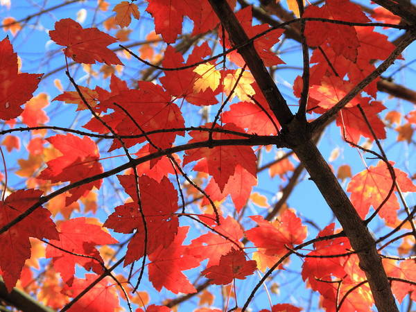 Photograph - Autumn Leaves by Frank Romeo