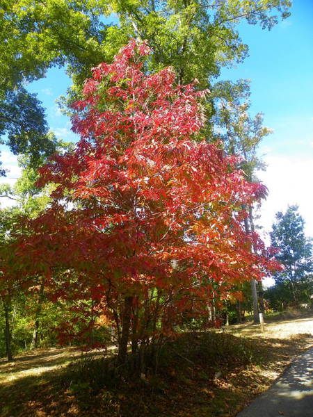 Photograph - Autumn Leaves  by Lisa Wooten