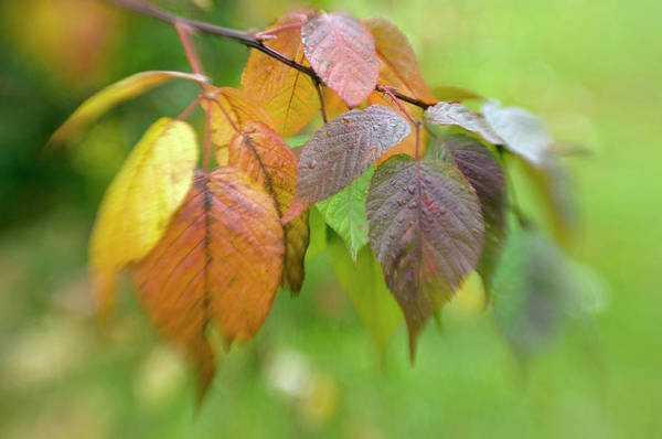 New Leaf Photograph - Autumn Leaves by Maria Mosolova/science Photo Library