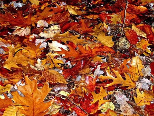Autumn Leaves On The Ground In New Hampshire - Bright Colors Art Print