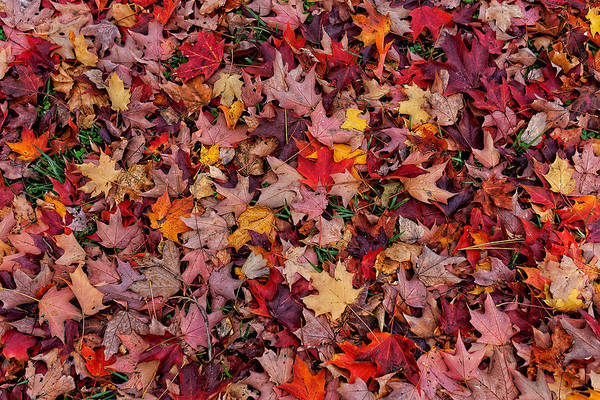 Wall Art - Photograph - Autumn Leaves by William Jobes