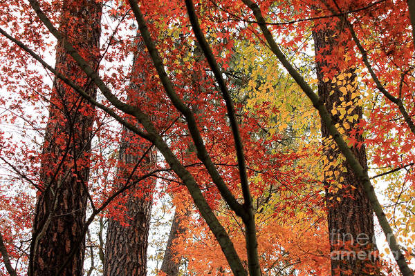 Photograph - Autumn Lines And Color by Carol Groenen