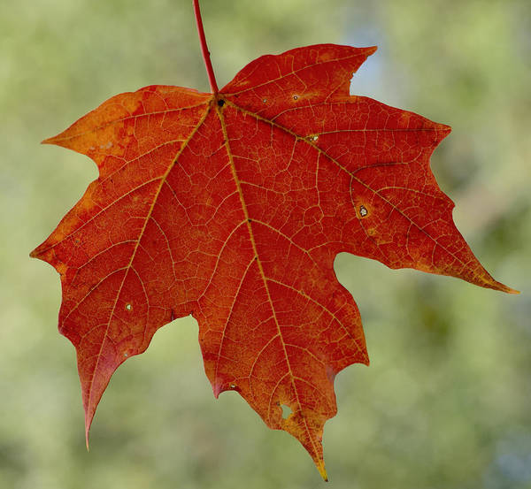 Photograph - Autumn Maple Leaf by Terry DeLuco