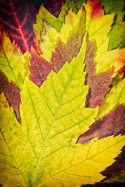Wall Art - Photograph - Autumn Maple Leaves by Adam Romanowicz