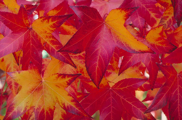Wall Art - Photograph - Autumn Maple Leaves by Brenda Tharp