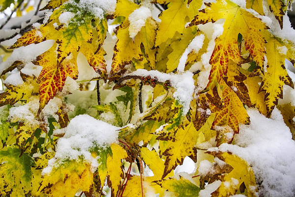 Photograph - Autumn Maple Leaves In The Snow  by James BO Insogna