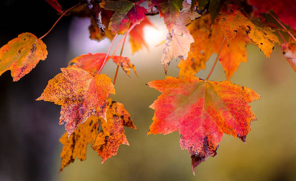 Photograph - Autumn Maple by Patrick Wolf