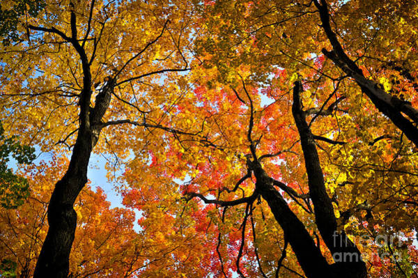 Tree Top Photograph - Autumn Maple Trees by Elena Elisseeva