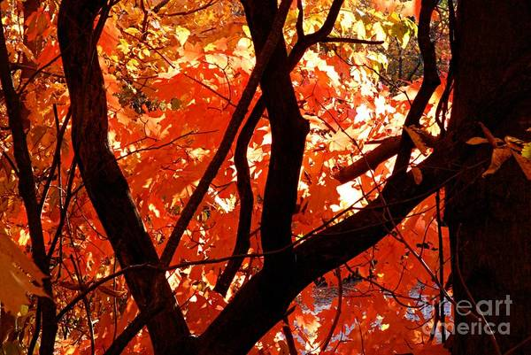 Photograph - Autumn Maples by Larry Ricker