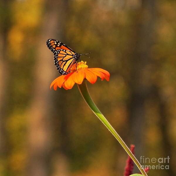 Photograph - Autumn Monarch And Mexican Sunflower by Byron Varvarigos