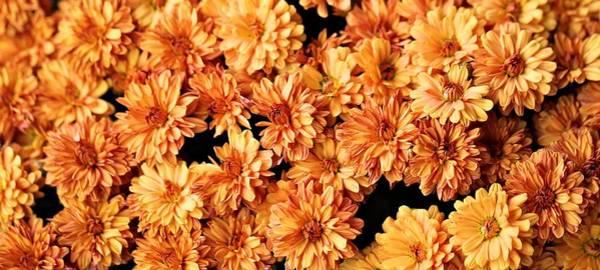 Wedding Bouquet Photograph - Autumn Mums by Dan Sproul