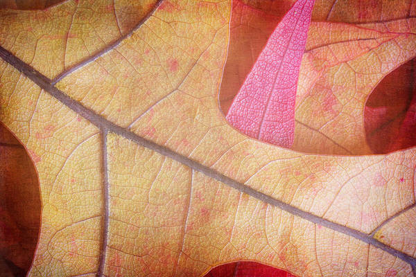 Wall Art - Photograph - Autumn Oak  by Heidi Smith