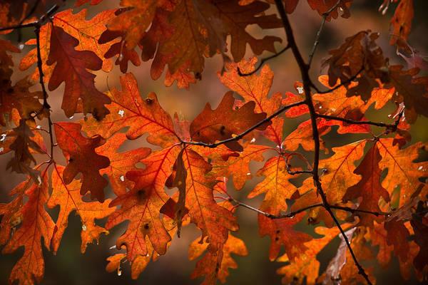 Manistee National Forest Wall Art - Photograph - Autumn Oak by Steve Gadomski