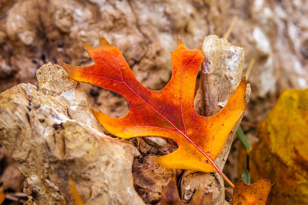 Photograph - Autumn Orange by Melinda Ledsome