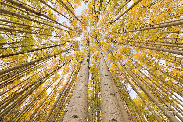 Wall Art - Photograph - Autumn Quaking Aspen Rocky Mts Colorado by Yva Momatiuk and John Eastcott
