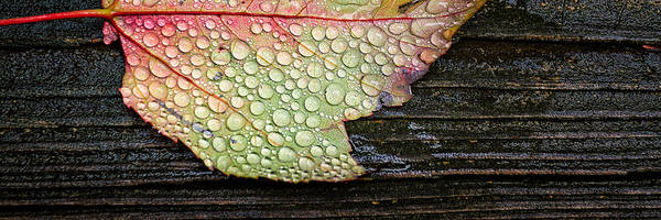 Photograph - Autumn Raindrops Maple Leaf In The Rain by Jeff Sinon