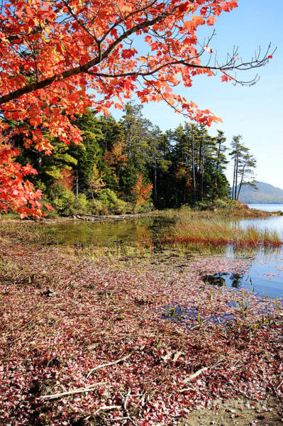 Photograph - Autumn Red At Eagle Lake by David Birchall
