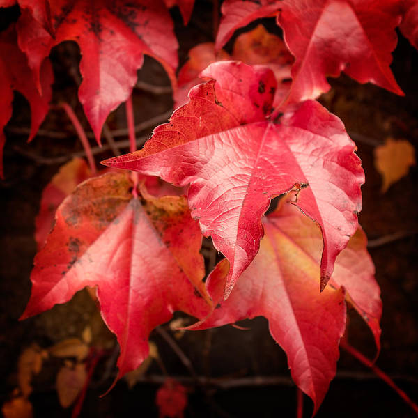 Photograph - Autumn Red Ivy by Chris Bordeleau