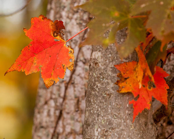 Photograph - Autumn Red by Melinda Ledsome