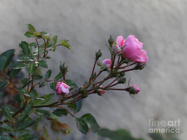 Photograph - Autumn Rose by Lutz Baar