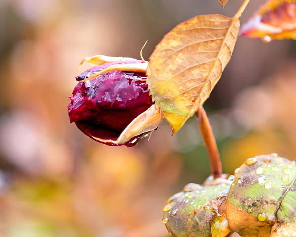 Photograph - Autumn Rosebud by Rona Black