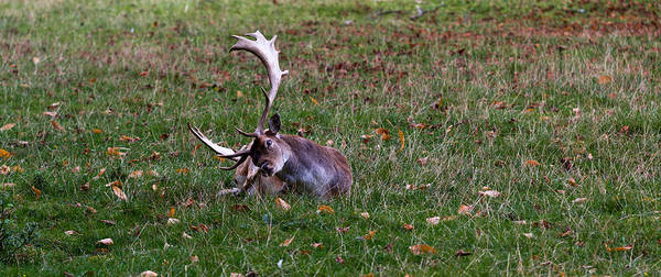 Wall Art - Photograph - Autumn Stag by Chris Whittle