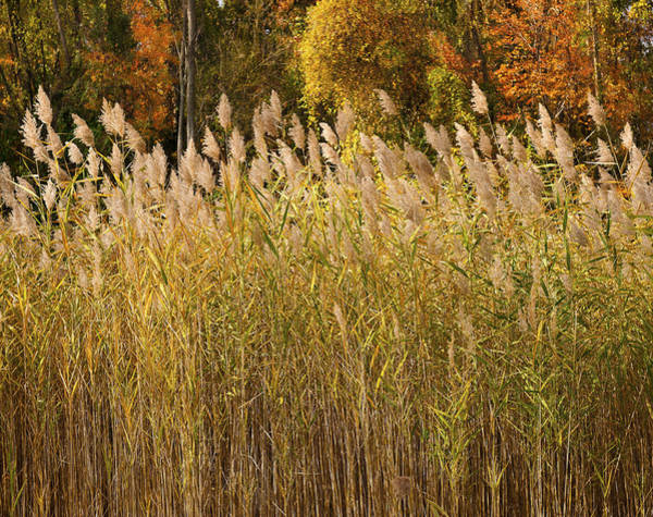 Wall Art - Photograph - Autumn Sunlight On Marsh Reeds by Marianne Campolongo