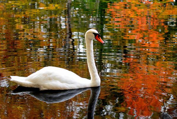 Autumn In New England Photograph - Autumn Swan by Lourry Legarde