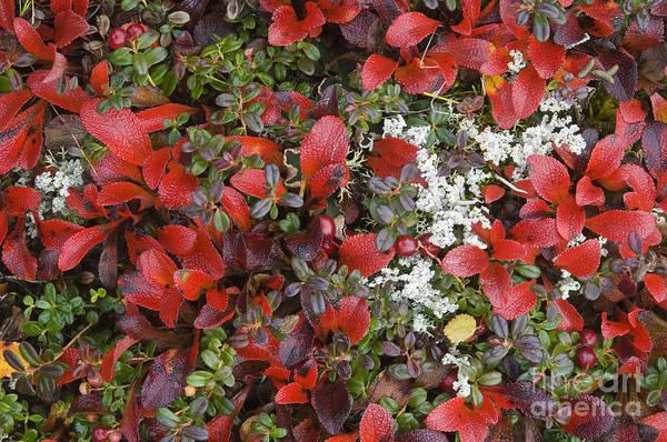 Photograph - Autumn Tundra by John Shaw