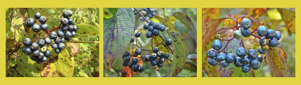 Wall Art - Photograph - Autumn Viburnum Berries Series - A Trilogy by Mother Nature